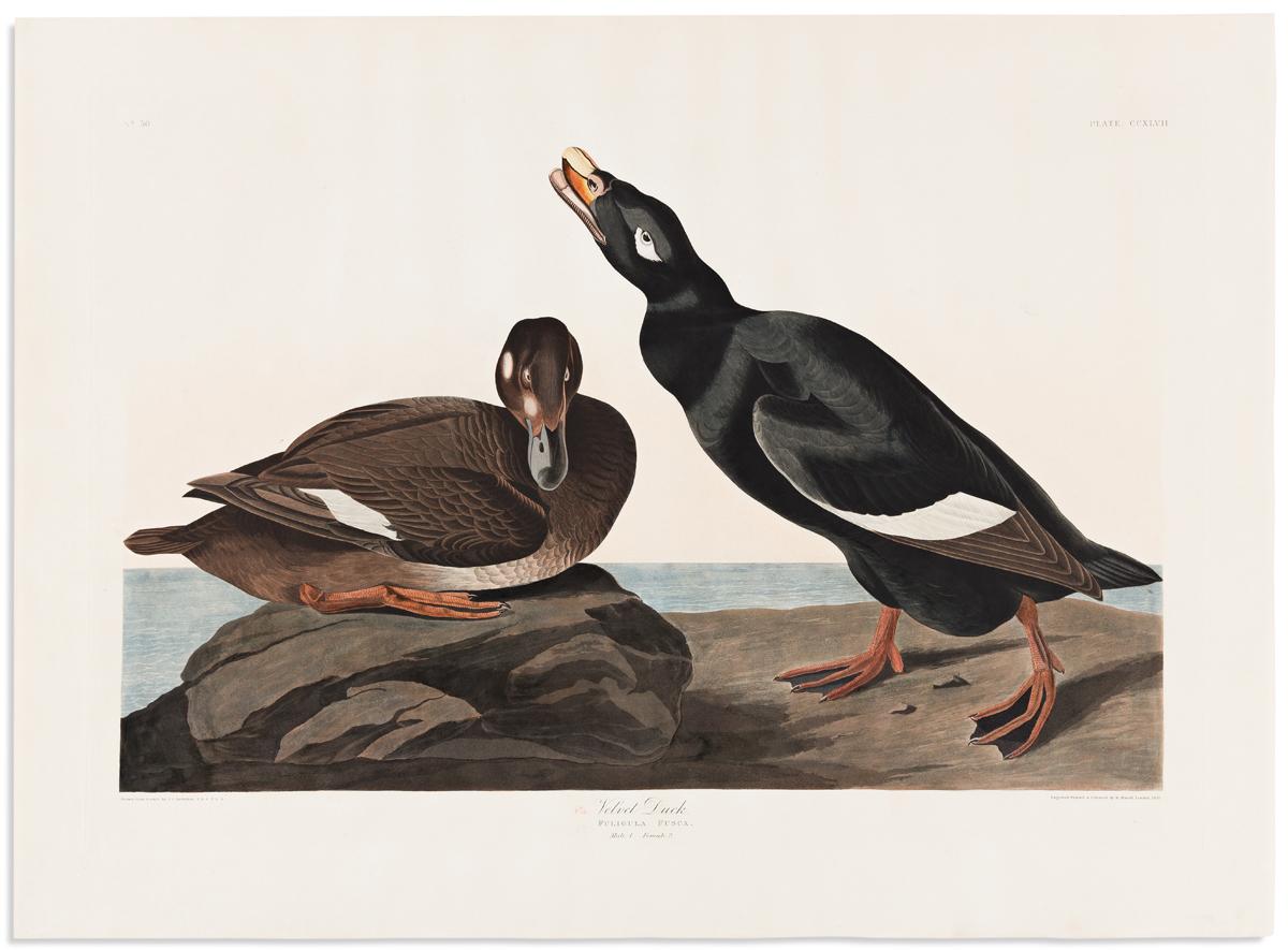 AUDUBON, JOHN JAMES. Velvet Duck. Plate CCXLVII.