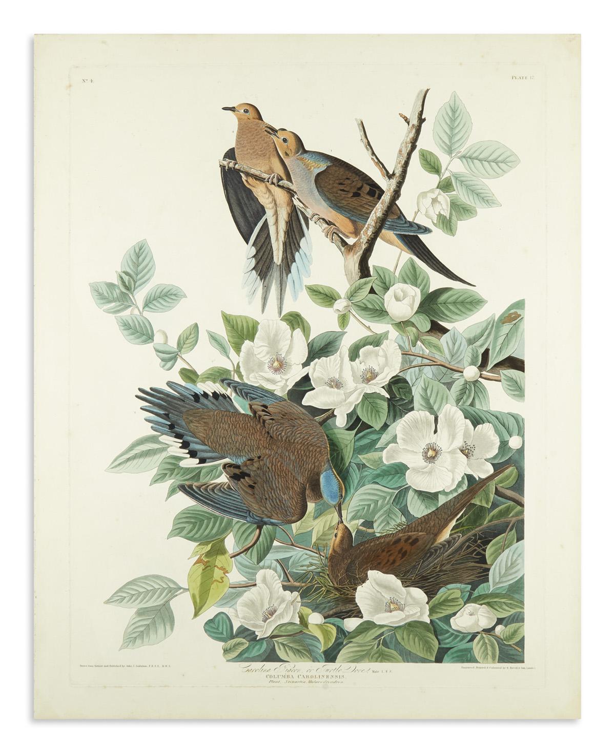 AUDUBON-JOHN-JAMES-Carolina-Pigeon-or-Turtle-Dove-Plate-17-[