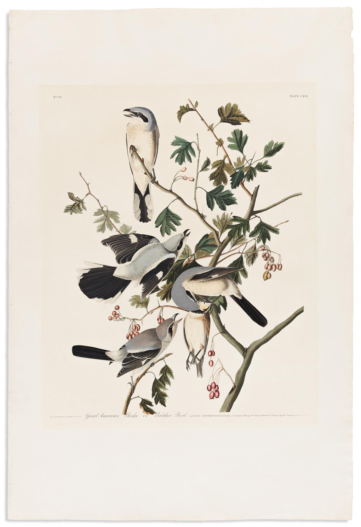 AUDUBON, JOHN JAMES. Great American Shrike or Butcher Bird. Plate CXCII.