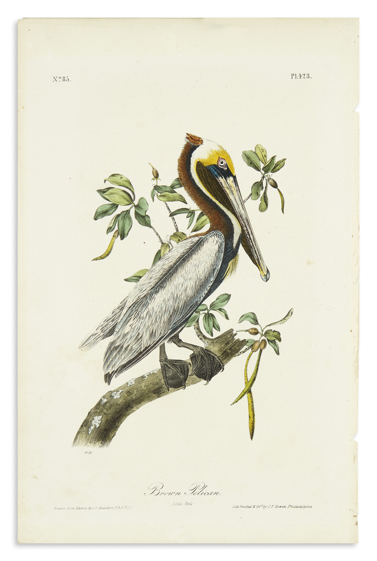 AUDUBON-JOHN-JAMES-American-White-Pelican-Plate-422--Brown-P