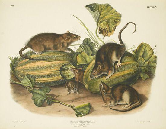 AUDUBON, JOHN JAMES; and BACHMAN, JOHN. The Viviparous Quadrupeds of North America. 3 vols. 1845-48