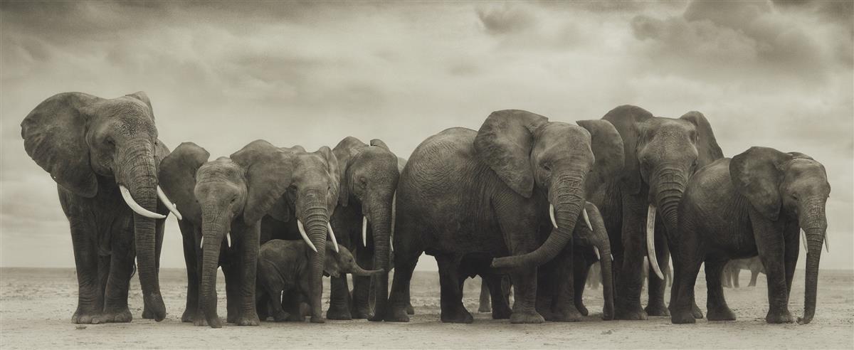 NICK BRANDT (1964- ) Elephant group on bare earth, Amboseli.