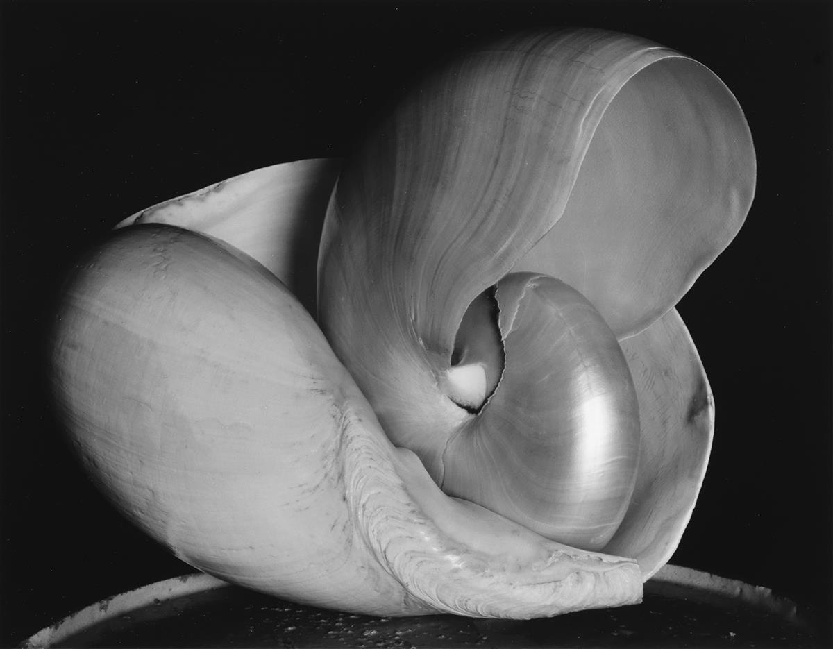 EDWARD WESTON (1886-1958)/COLE WESTON (1919-2003) Shell.