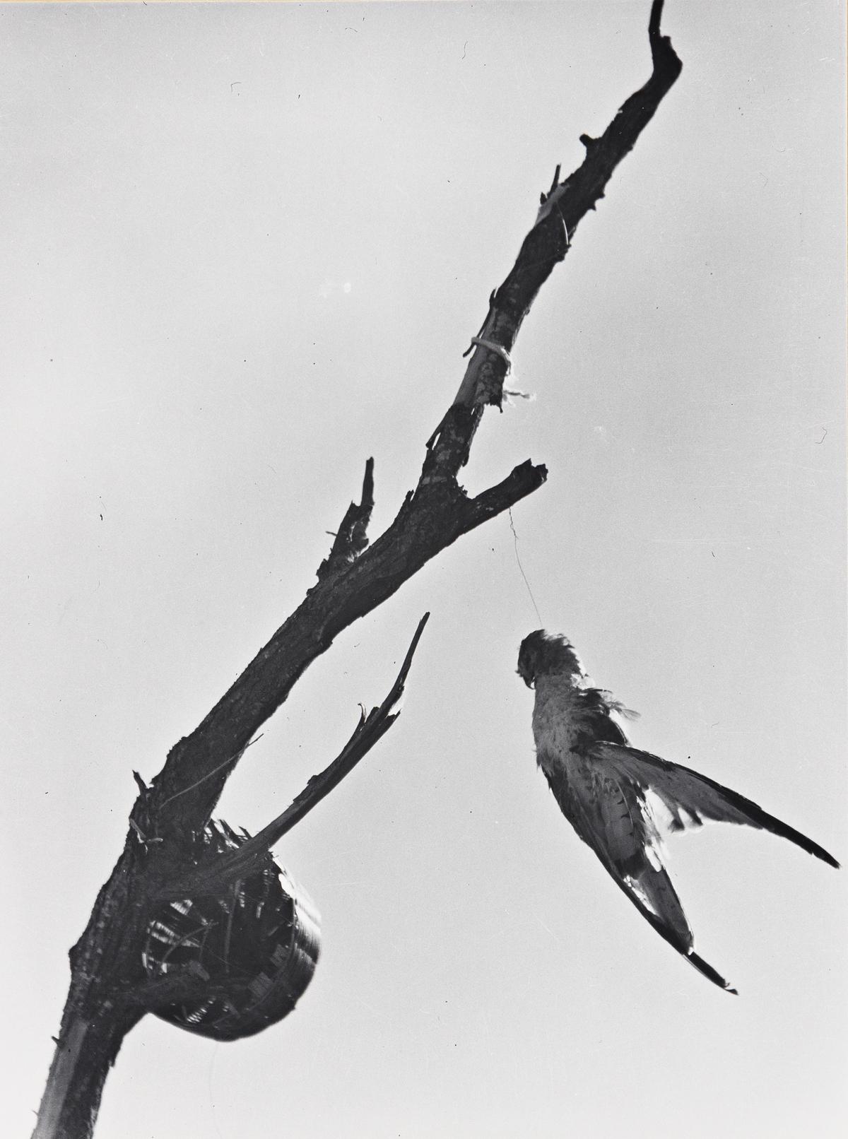 MANUEL ÁLVAREZ BRAVO (1902-2002) Pájaro crepuscular que mecido por el viento, México [Twilight Bird Swayed by the Wind].
