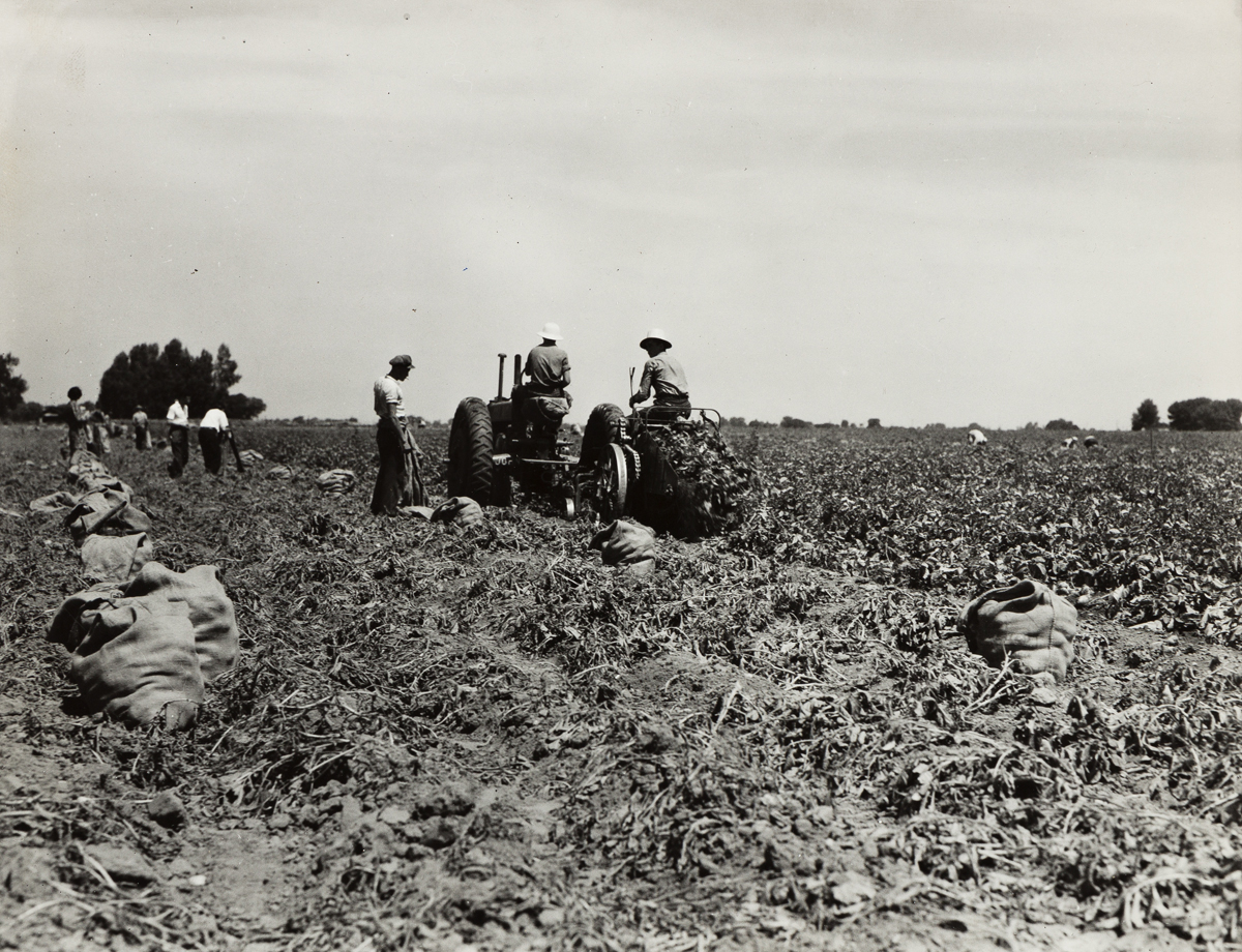 DOROTHEA LANGE (1895-1965) Mechanical Potato Digger in the field, Shafter, California.