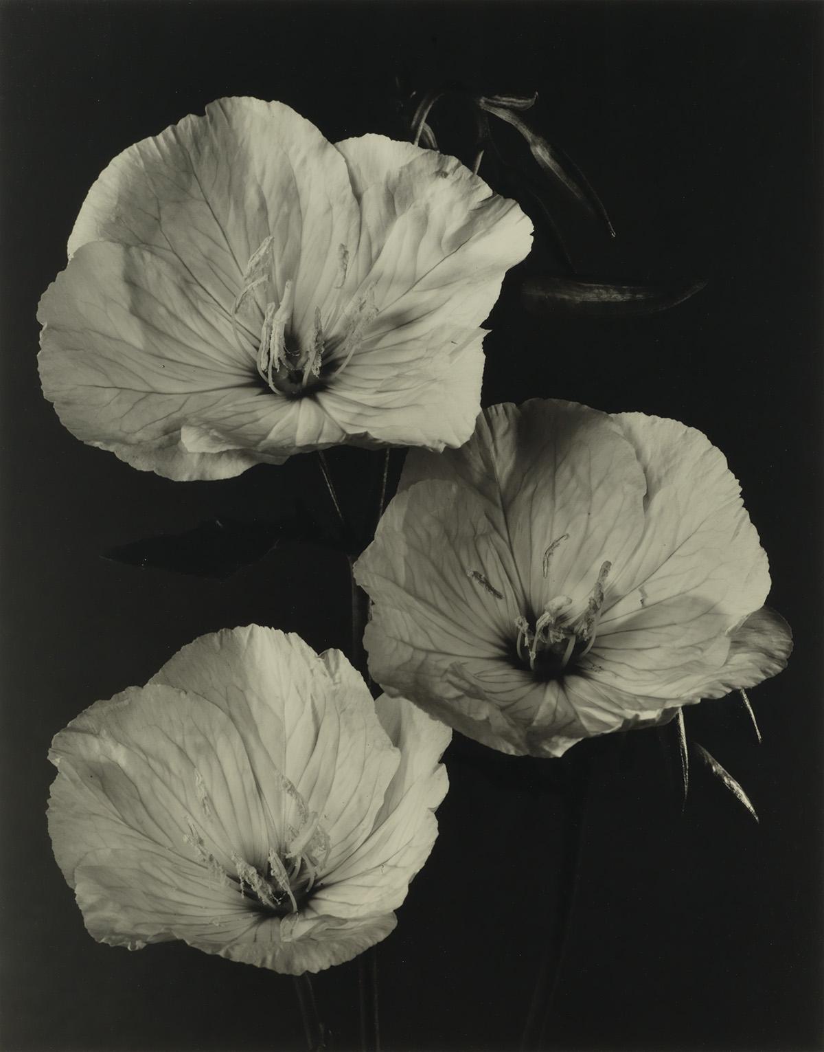 TOM BARIL (1952- ) Evening Primrose.