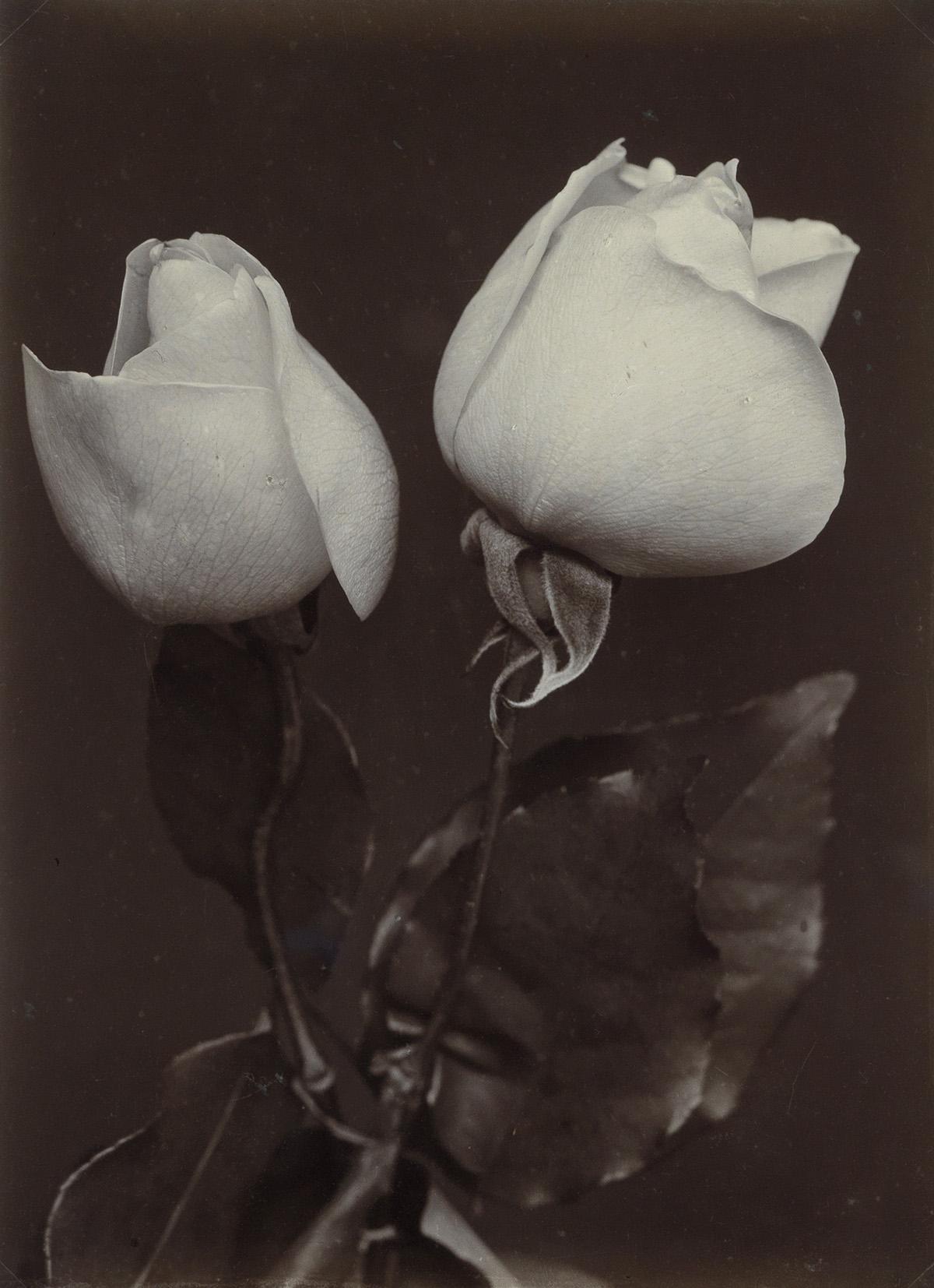 CHARLES-JONES-(1866-1959)-White-Roses