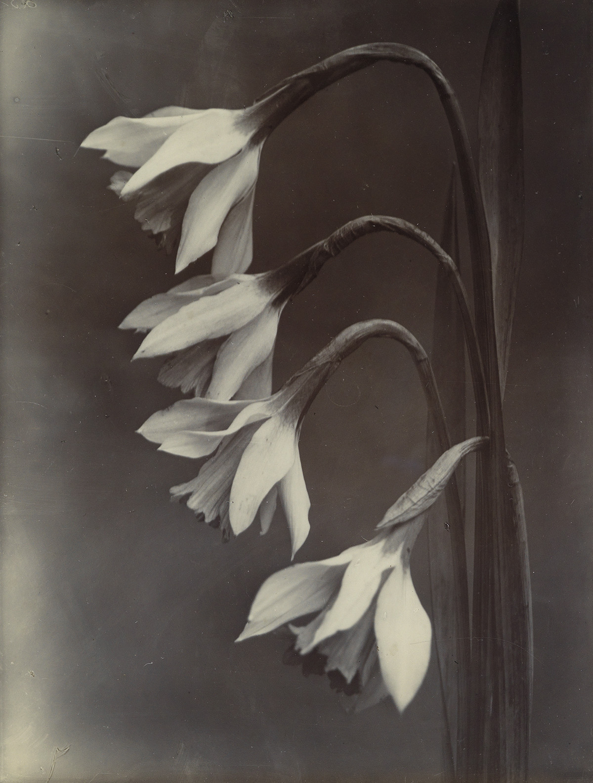 CHARLES-JONES-(1866-1959)-Narcissus-William-Goldring
