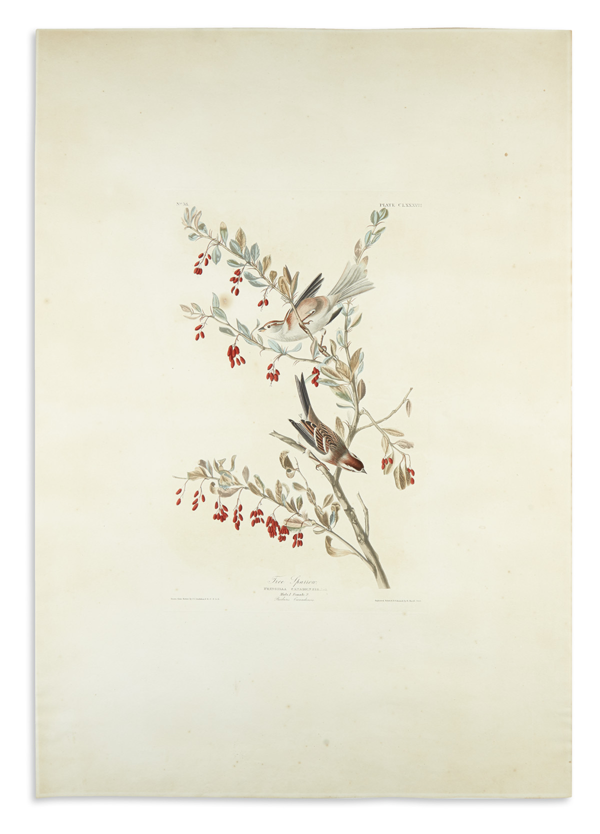 AUDUBON-JOHN-JAMES-Tree-Sparrow-Plate-CLXXXVIII