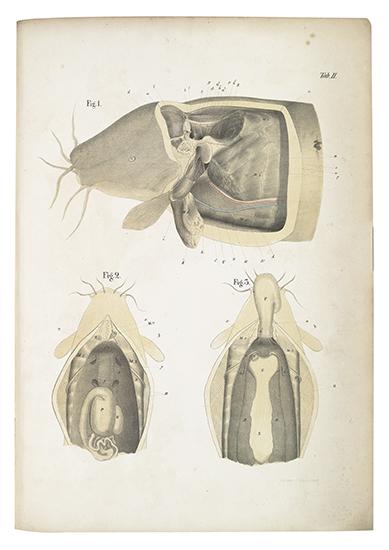 BILHARZ,THEODOR. Das electrische Organ des Zitterwelses.  1857