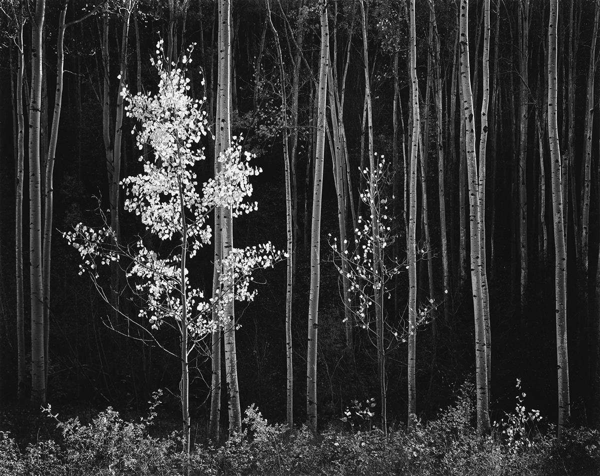 ANSEL ADAMS (1902-1984) Aspens, Northern New Mexico.