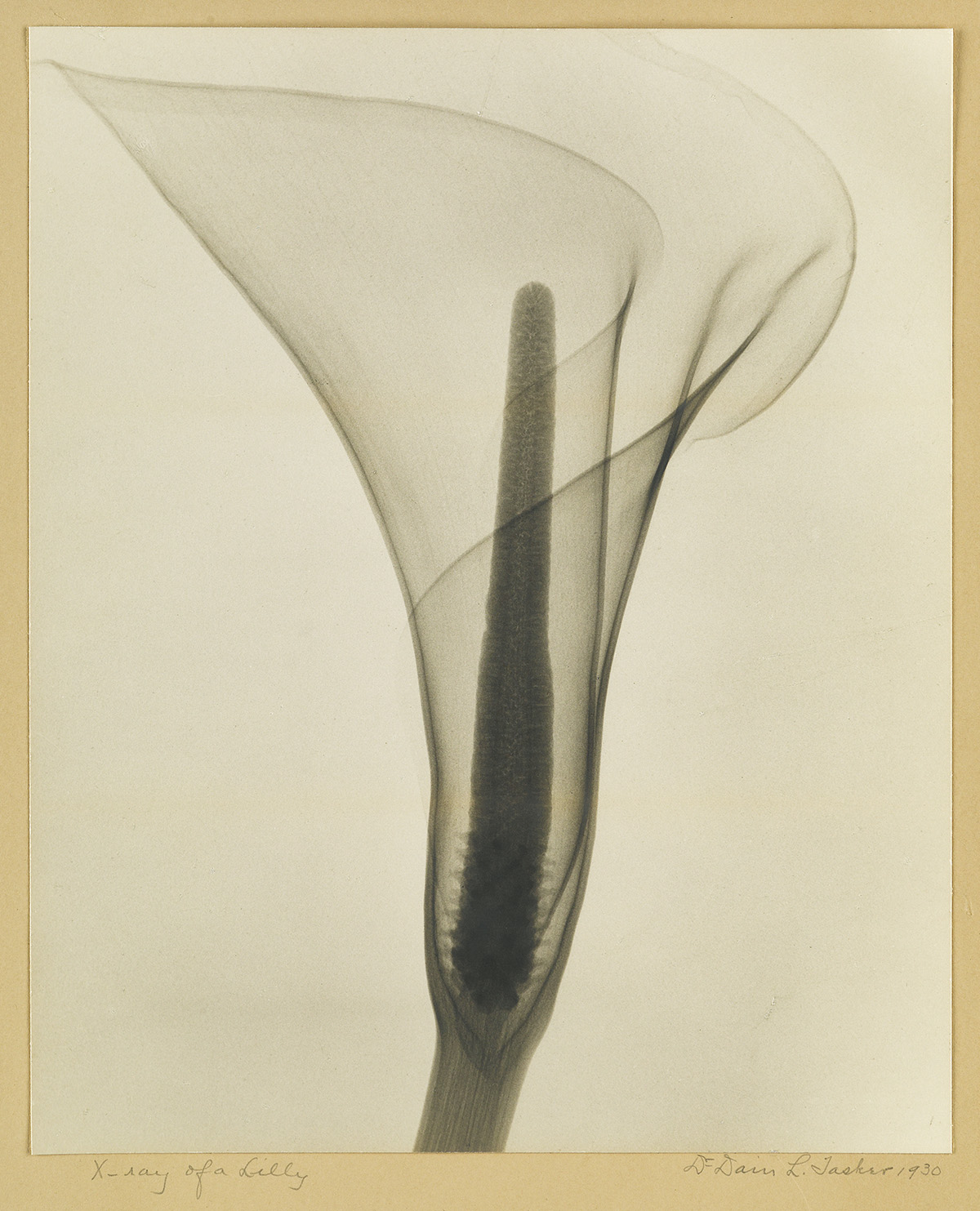 DR. DAIN L. TASKER (1872-1964) X-Ray of a Lily.