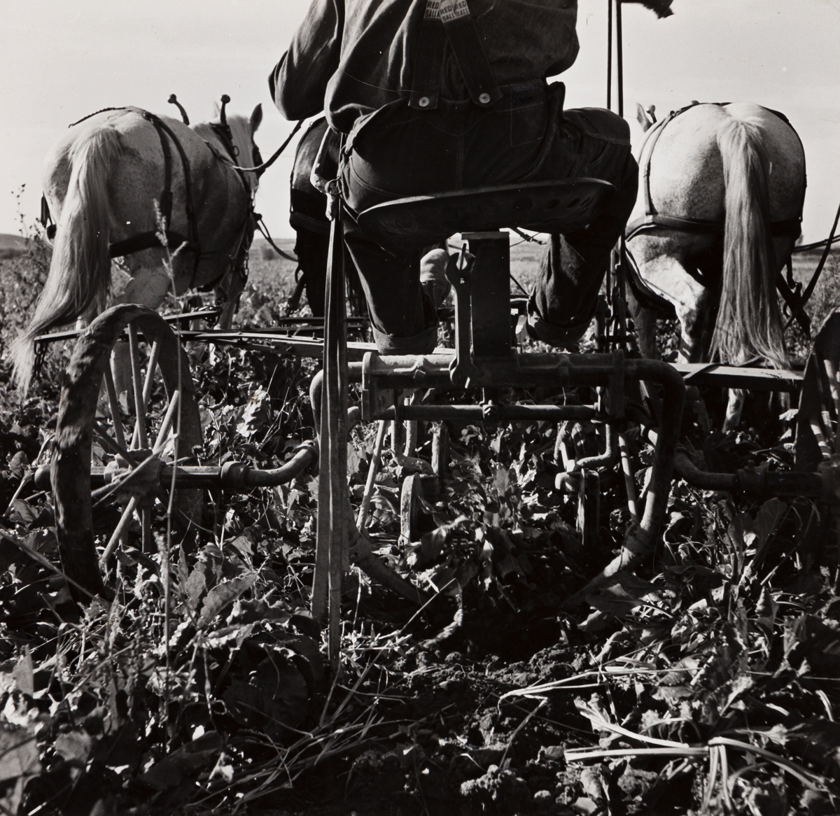 DOROTHEA LANGE (1895-1965) Sugar beet lifter in older settlers field, which loosens beets and partially lifts them from ground. Near O