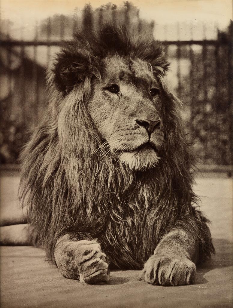 HENRY DIXON & SONS (1820-1893) The Lion.