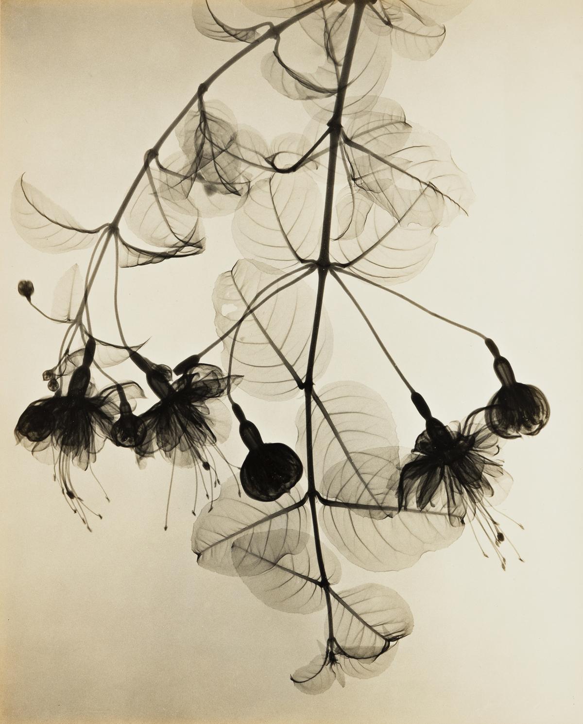 DAIN L. TASKER (1872-1962) X-Ray of Hanging Fuchsia.