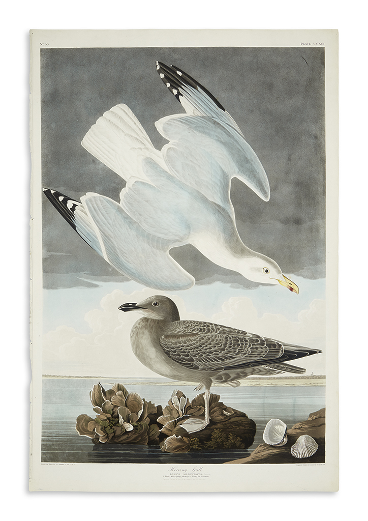 AUDUBON, JOHN JAMES. Herring Gull. CCXCI.