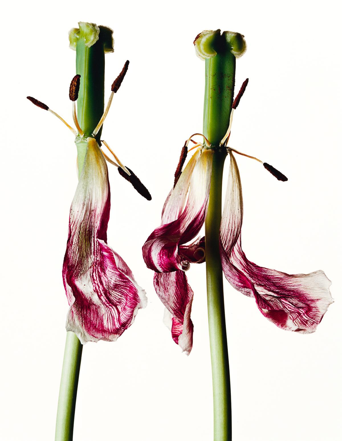 IRVING PENN (1917-2009) Tulip/Tulipa: China Pink, New York.