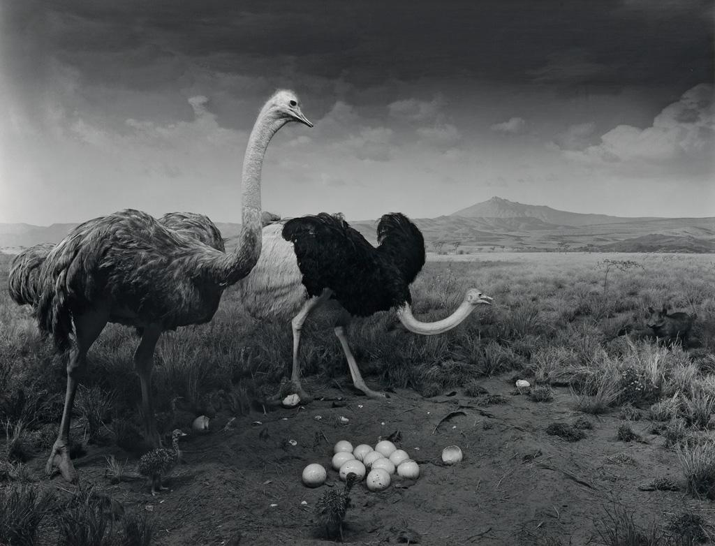 HIROSHI SUGIMOTO (1948-) Ostrich - Wart Hog.