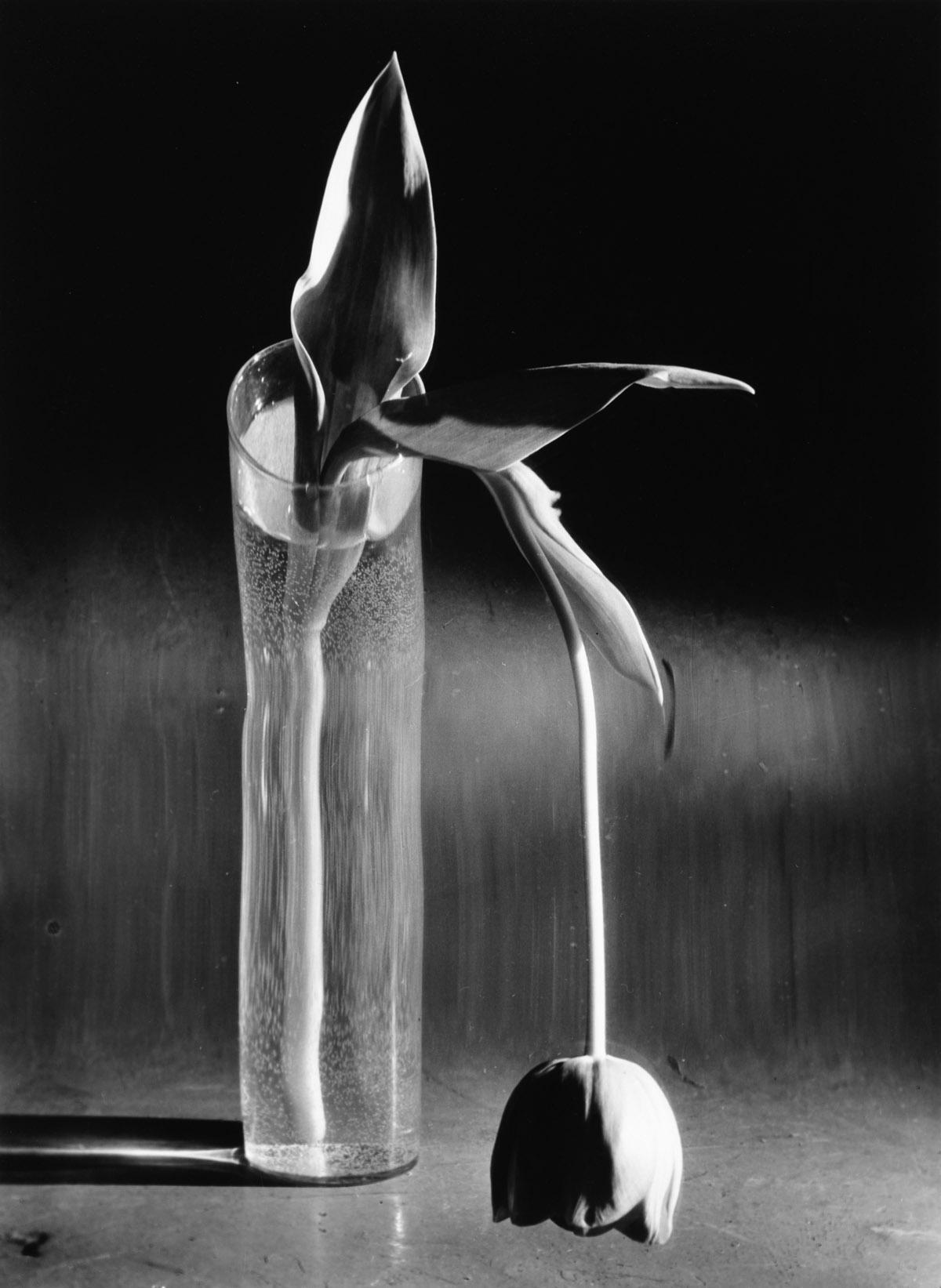ANDRÉ KERTÉSZ (1894-1985) Melancholic Tulip.