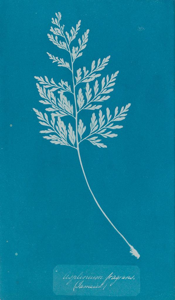 ANNA ATKINS (1799-1871) Asplenium Fragrans.