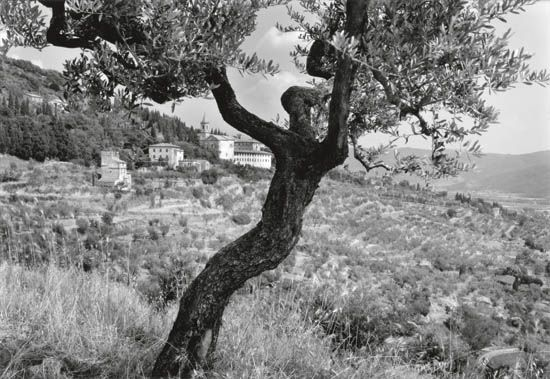CAPONIGRO-PAUL-(1932--)-Olive-Tree-Cortona-Italy