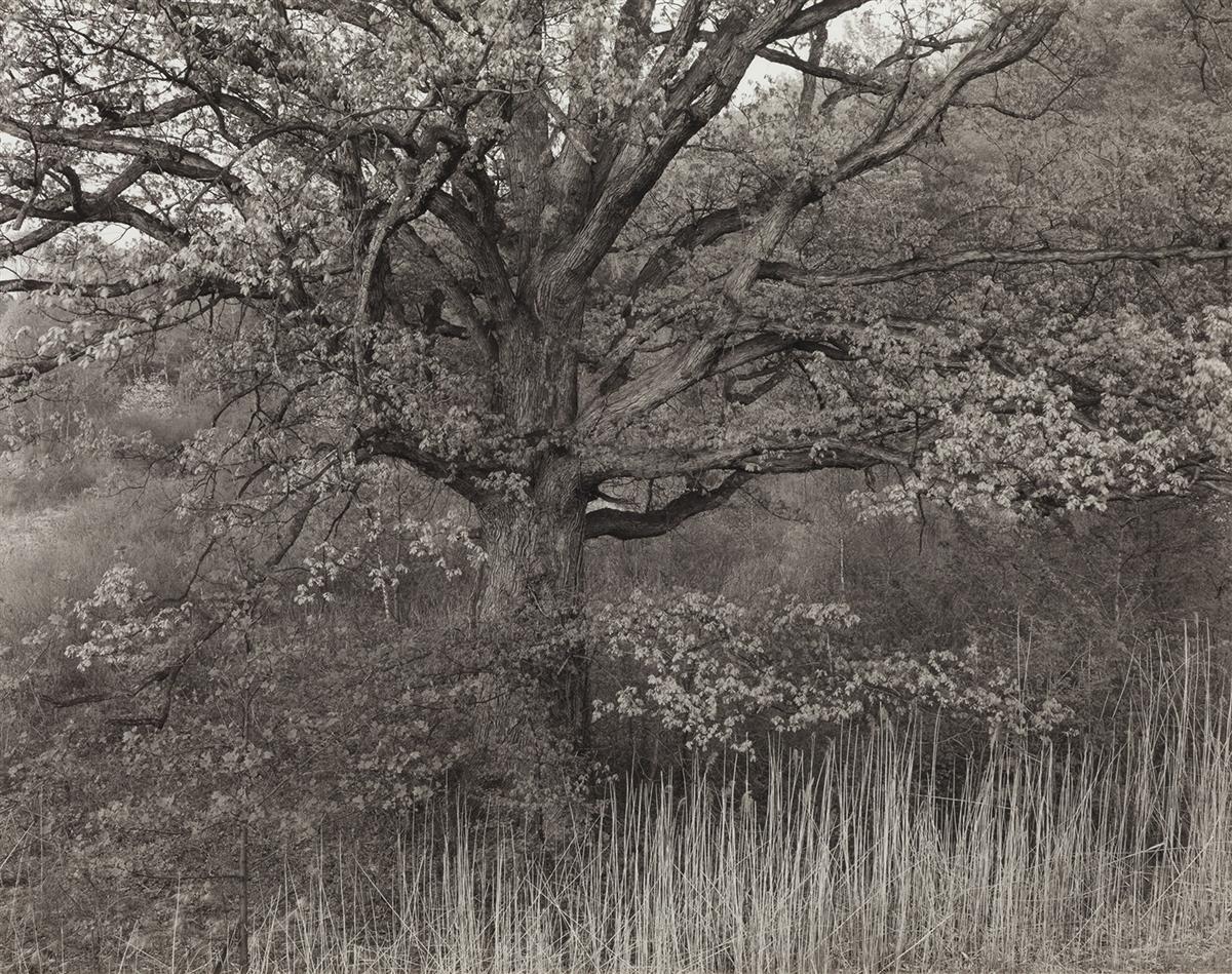 GEORGE-A-TICE-(1938--)-Oak-Tree-Holmdel-New-Jersey