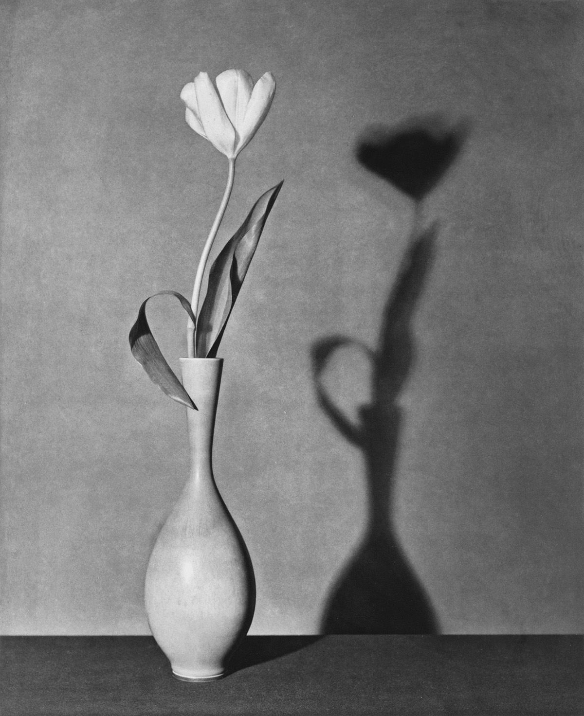 ROBERT MAPPLETHORPE (1946-1989) Tulip.