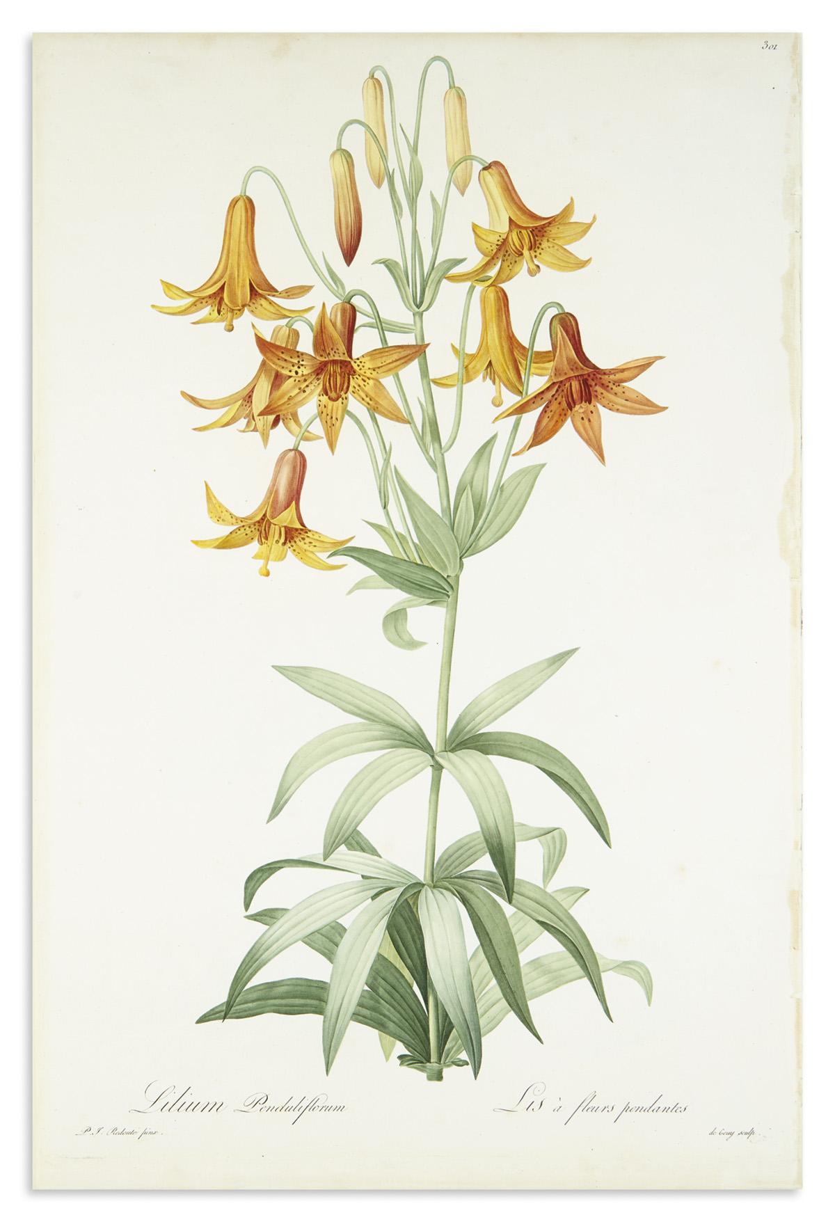 REDOUTÉ-PIERRE-JOSEPH-Lilium-Penduliflorum--Lis-a-Fleurs-Pen