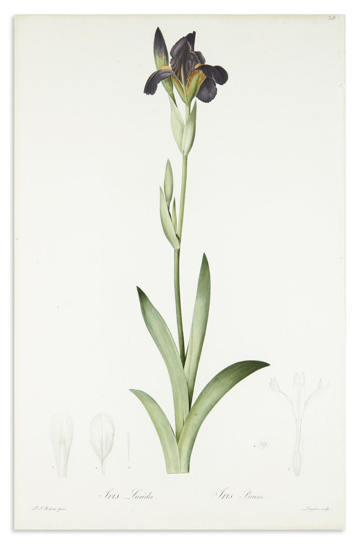 REDOUTÉ-PIERRE-JOSEPH-Iris-Lurida--Iris-Brune-Plate-318-[Bro