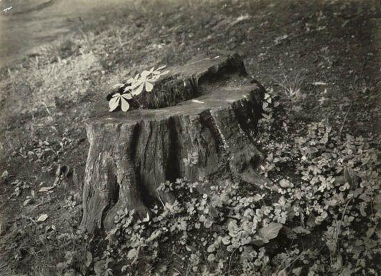 SUDEK-JOSEF-(1896-1976)-Stump-of-a-Horse-Chestnut-Tree-(from
