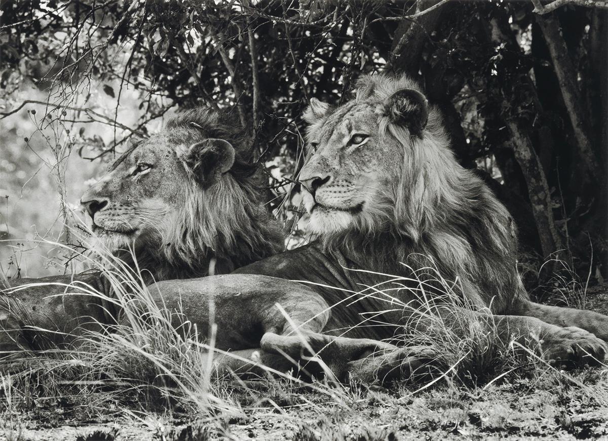 SEBASTIÃO SALGADO (1944- ) Kafue National Park, Zambia (two lions).