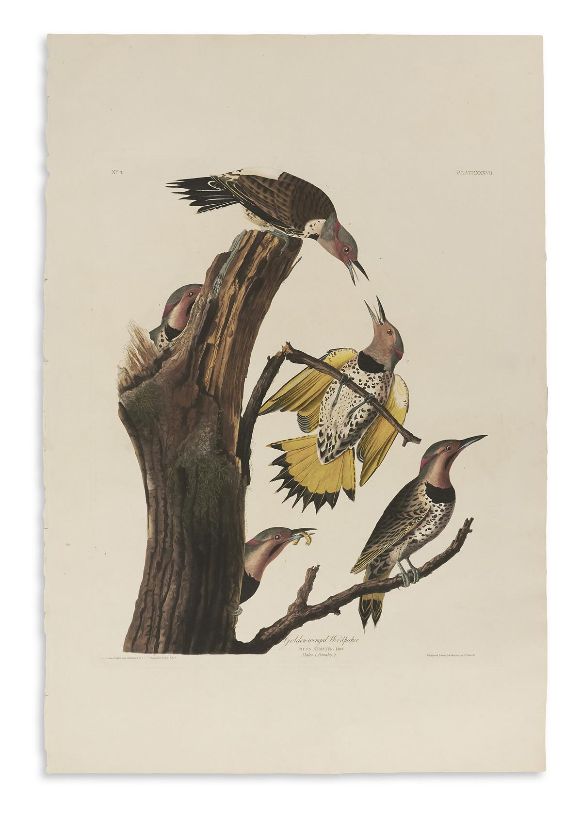 AUDUBON-JOHN-JAMES-Golden-Winged-Woodpecker-Plate-XXXVII
