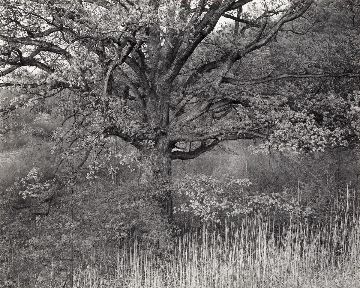 GEORGE-A-TICE-(1938--)-Oak-Tree-Holmdel-New-Jersey