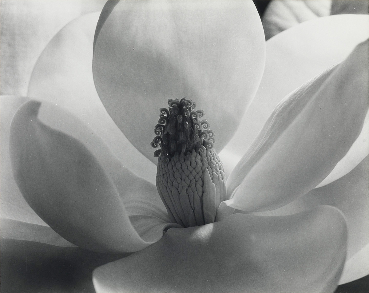 IMOGEN-CUNNINGHAM-(1883-1976)-Magnolia-Blossom
