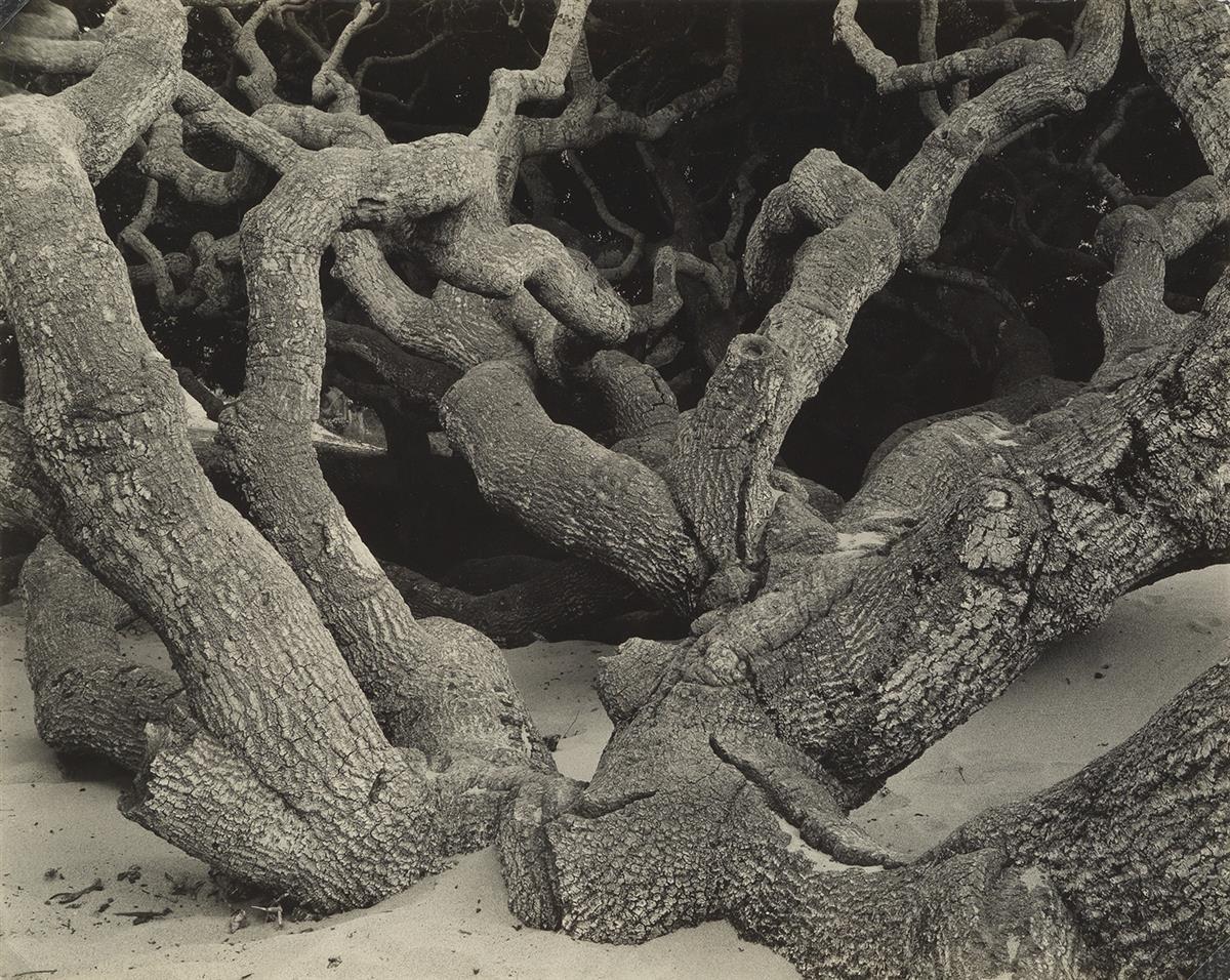 EDWARD-WESTON-(1886-1958)-Oak-Monterey