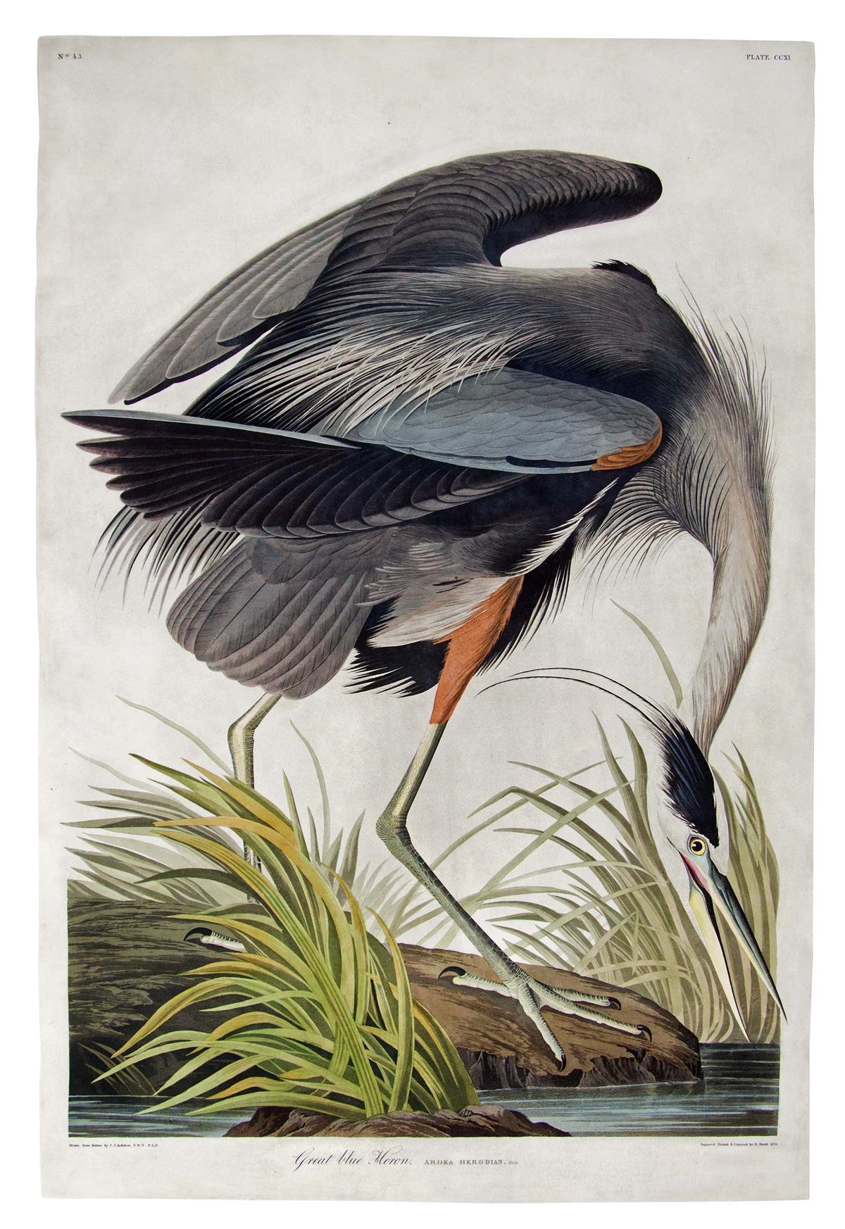 AUDUBON, JOHN JAMES. Great Blue Heron. Plate CCXI.