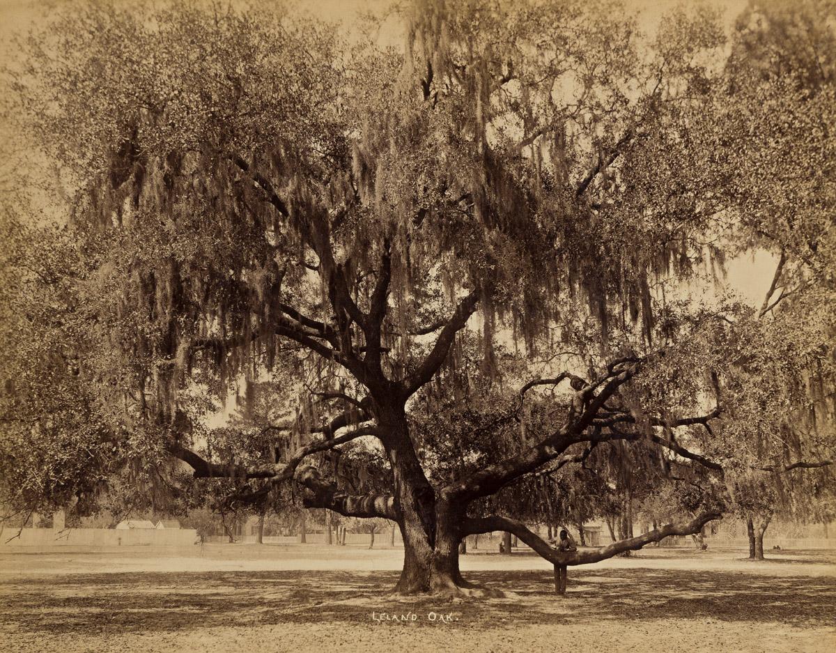 O. PIERRE HAVENS (1838-1912) Leland Oak.