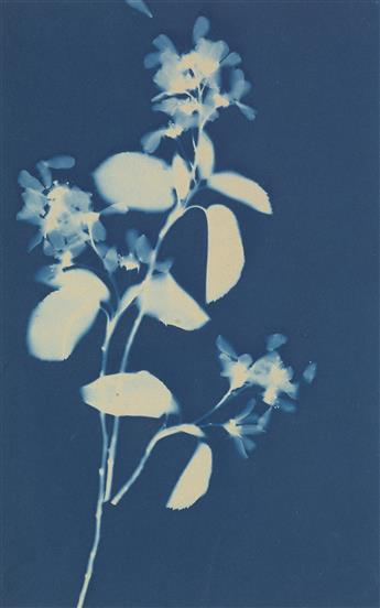 BERTHA JAQUES (1863-1941) Group of 9 rich photograms of botanical specimens.