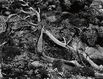 WESTON, BRETT (1911-1993) Study of branch and flowers.