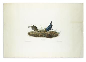 AUDUBON, JOHN JAMES. Cow Bunting. Plate 99.