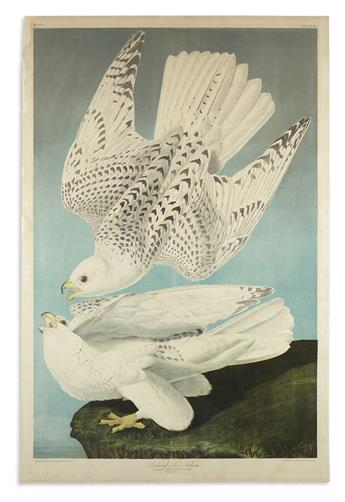 AUDUBON, JOHN JAMES. Iceland or Jer Falcon. Plate 19.