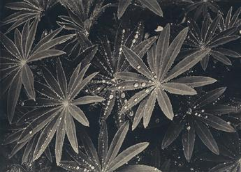 LAURA GILPIN (1891-1979) Raindrops on Lupin Leaves.