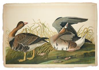 AUDUBON, JOHN JAMES. White-Fronted Goose. Plate 380.