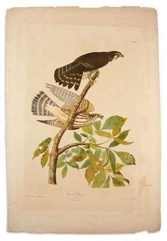 AUDUBON, JOHN JAMES. Pigeon Hawk. Plate 21.