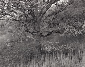 GEORGE A. TICE (1938- ) Oak Tree, Holmdel, New Jersey.
