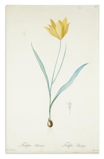 REDOUTÉ, PIERRE-JOSEPH. Tulipa Silvestris / Tulipe Sauvage. Plate 165. [Wild Tulip].