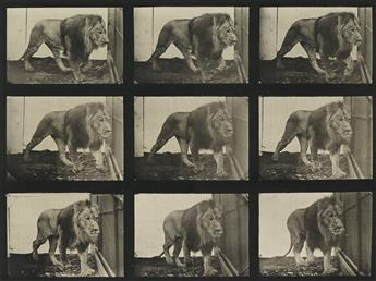 EADWEARD MUYBRIDGE (1830-1904) A selection of 10 plates from Animal Locomotion depicting animals.