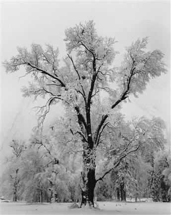 ANSEL ADAMS (1902-1984) Oak Tree, Snowstorm.