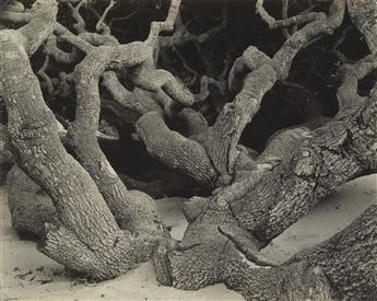 EDWARD WESTON (1886-1958) Oak, Monterey.