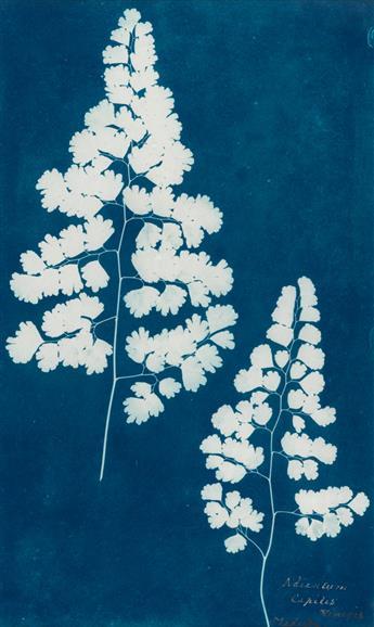 (CIRCLE OF ANNA ATKINS) Adiantum Capillis-Veneris, Madeira, from the Hatton Fern Album.
